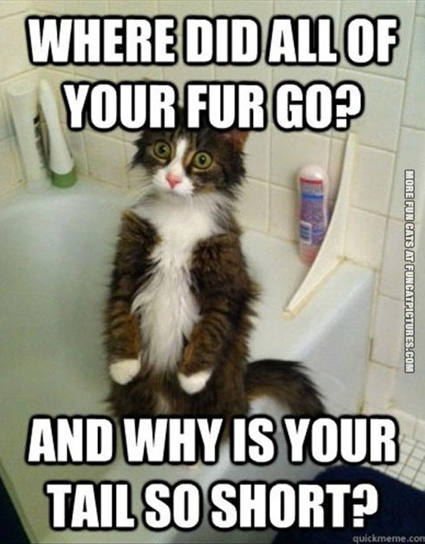 fun cat picture why is your tail so short
