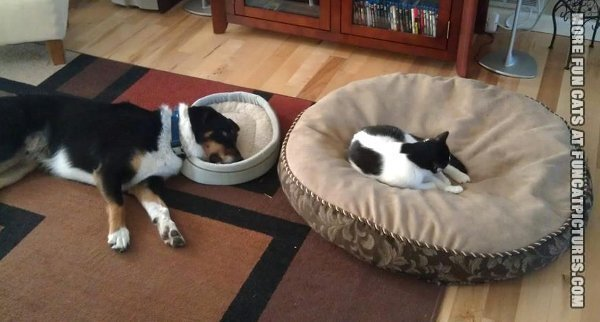 funny cat picture cat sleeping on dogs bed