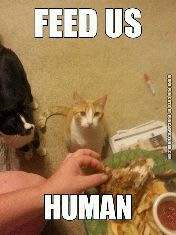 funny cat picture feed us human