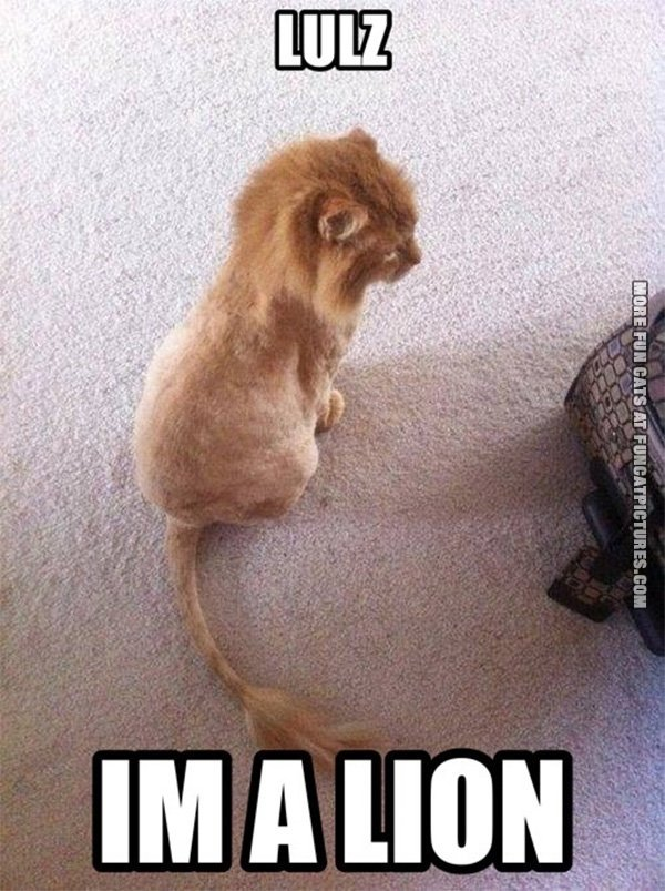 funny-cat-picture-im-a-lion