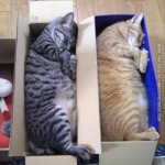Cats preffer the box to shoes