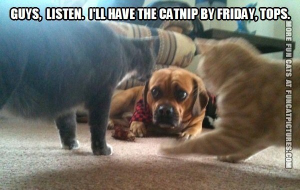 funny cat picture ill have the catnip by friday