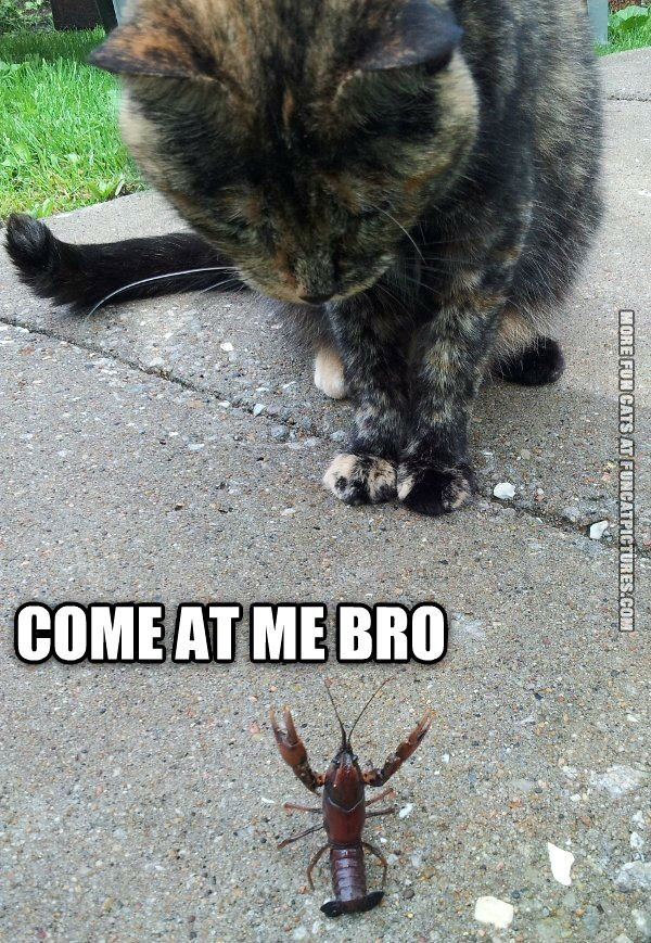 funny cat picture come at me bro