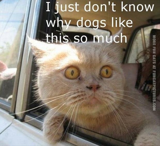 funny pics cat in a car dont know why dogs love this