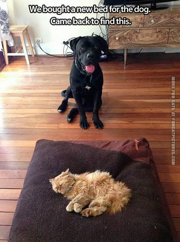 funny-cat-pics-bought-a-new-bed-for-the-dog