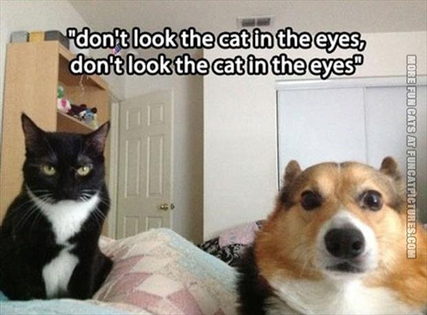 funny cat pics dont look the cat in his eyes