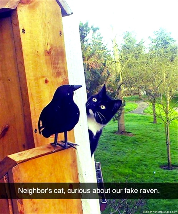 funny-cat-pictures-curous-about-our-fake-raven