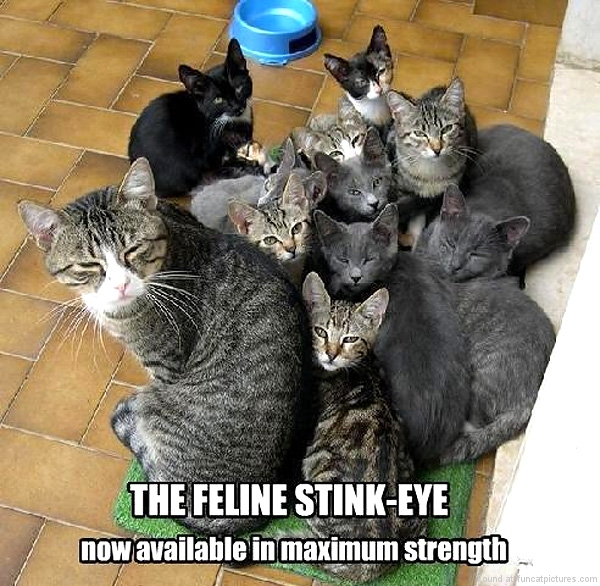 funny-cat-pictures-feline-stink-eye