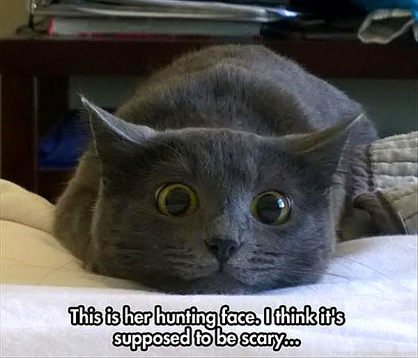 funny-cat-pictures-my-cats-hunting-face