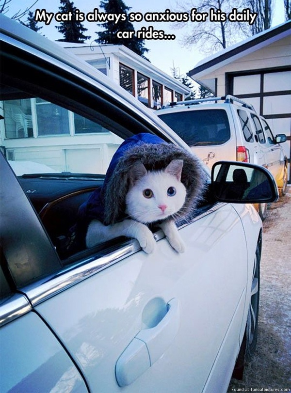 funny-cat-pictures-daily-car-ride