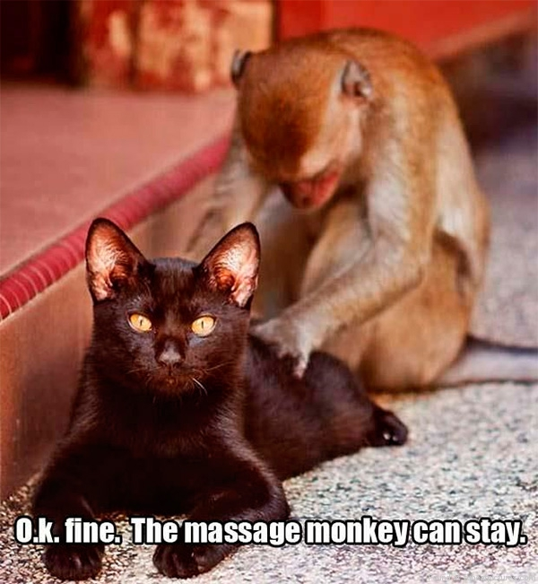 funny-cat-pictures-the-massage-monkey-can-stay