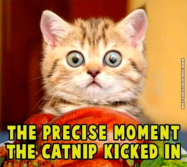funny-cat-pictures-when-the-catnip