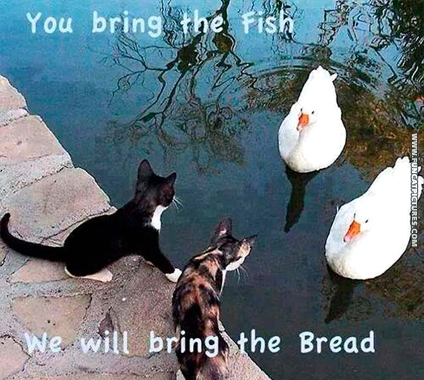 funny-cat-pictures-cooperating-with-ducks